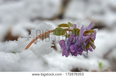Corydalis flower under and between snow. Illustration about spring treacherous weather.