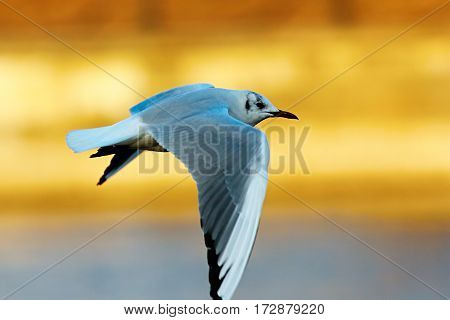 black headed gull in flight in winter plumage ( Chroicocephalus ridibundus )