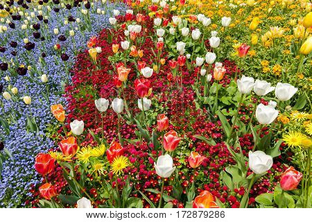 Colored flower bed in Spring. Frame filled with colorful flowers.