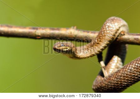 close up of smooth snake climbing on branch ( Coronella austriaca )
