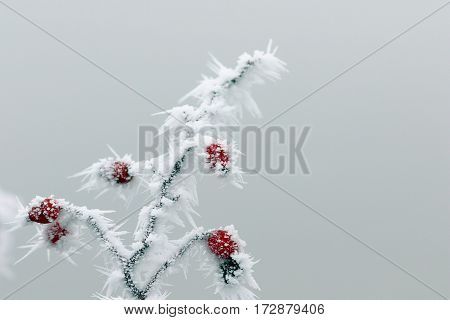 closeup of rime on dog rose on a foggy winter day