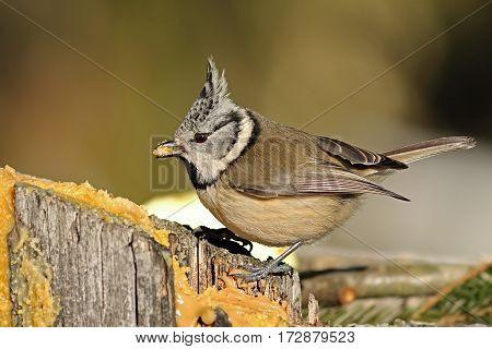 cute european crested tit eating lard at garden bird feeder ( Lophophanes cristatus )