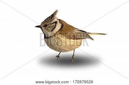 cute garden bird crested tit over white with shadow ( Lophophanes cristatus )