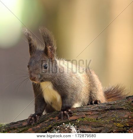 cute wild red squirrel standing on branch ( Sciurus vulgaris )