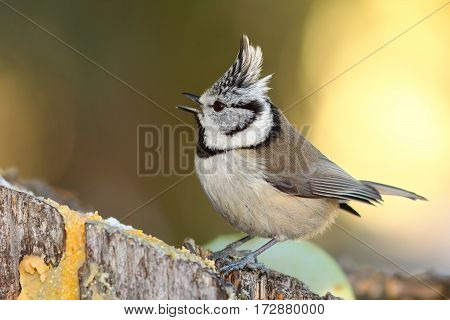 european crested tit perched on stump in the garden ( Lophophanes cristatus )