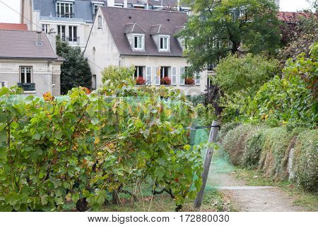 Old vineyard and beautiful houses on Montmartre hill Paris France.