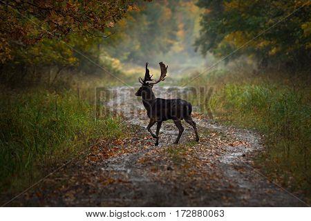 wild fallow deer buck passing forest road at dawn ( Dama )