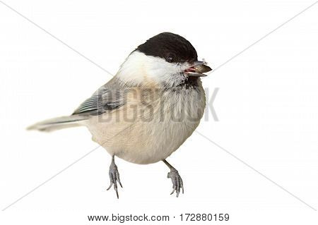 coal tit isolated over white background ( Periparus ater )