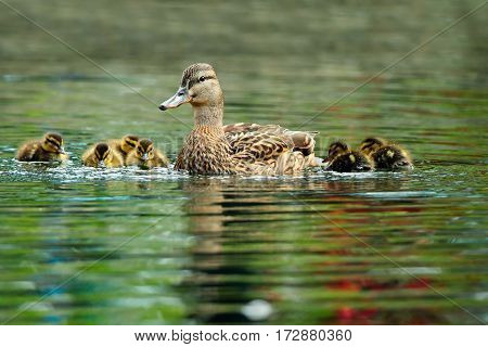 mallard duck family swimming on pond in spring mother with cute beautiful ducklings