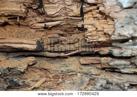 oak wooden beam damaged by fungus and insect attack