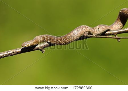 smooth snake climbing on tree branch ( Coronella austriaca ) over green out of focus background