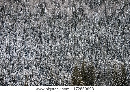 textural image on spruce forest in a winter day