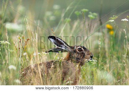 wild brown european hare ( Lepus europaeus ) hiding in big grass