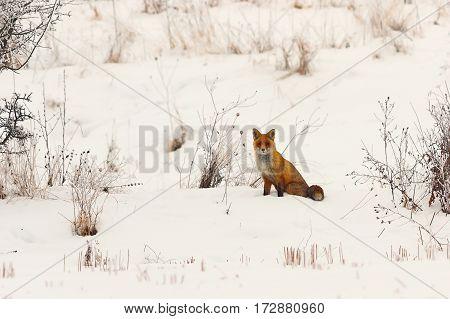 wild european red fox in snow ( Vulpes )