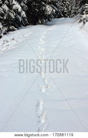 wild wolf tracks in big snow in Apuseni mountains Romania one of the last places with wild big carnivores in Europe
