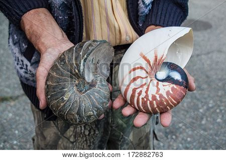 Close-up image of Ammonite and nautilus shells compared to each other