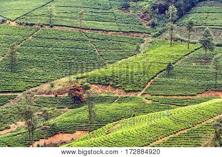 Scenic view of tea plantation in mountain region of Sri Lanka