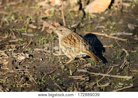 A dunnock or Hedge sparrow foraging in soil