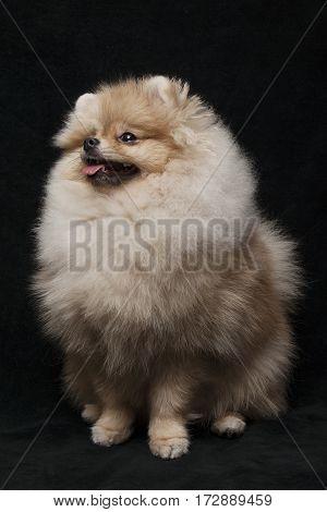 photo of shpitz dog sitting on black background