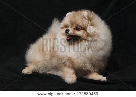 photo of pomeranian shpitz dog lying on black background