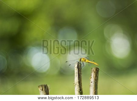 Big yellow dragonfly sitting on dry twig summer warm day green background bokeh, selective focus