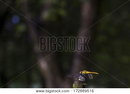 Big yellow dragonfly sitting on dry twig summer evening dark background, selective focus