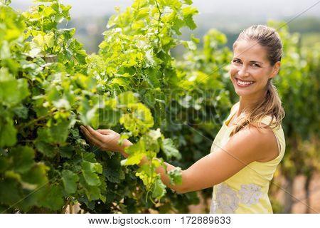 Portrait of smiling female vintner inspecting grape crop in vineyard