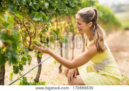Female vintner inspecting grapes in vineyard