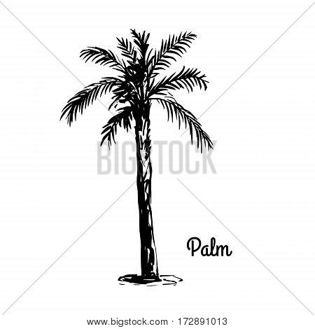 Vector sketch illustration. Black silhouette of Palm isolated on white background. Tropical flora.