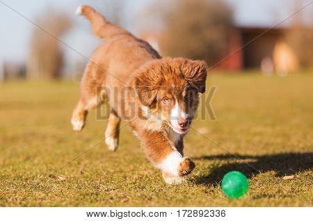 Australian Shepherd Puppy Running For A Ball