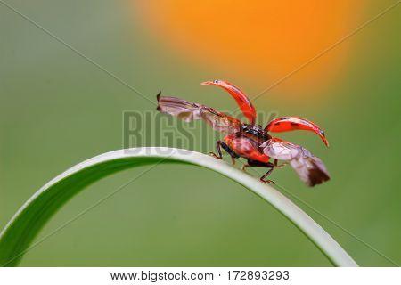 Ladybug Take-off From Culm