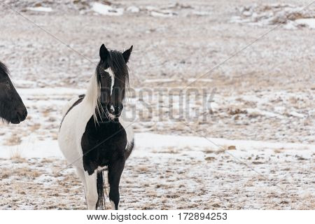 Wild horse walking in the snow-covered steppe near Lake Baikal.