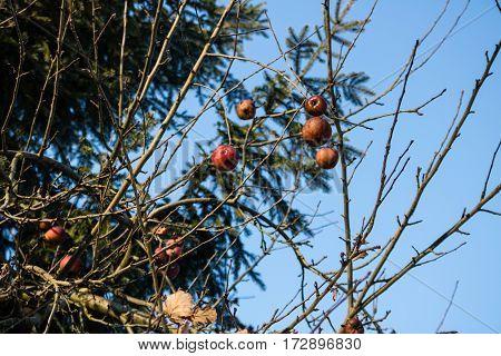Apples Left On The Trees In Freezing Winter, Apple Tree In Garden.