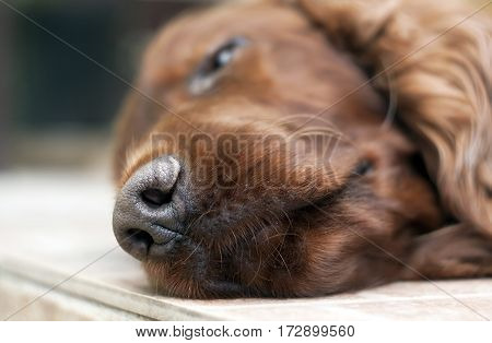 Noze of a sleeping lazy Irish Setter dog