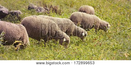 Farm animals banner - hungry sheep grazing in the grass