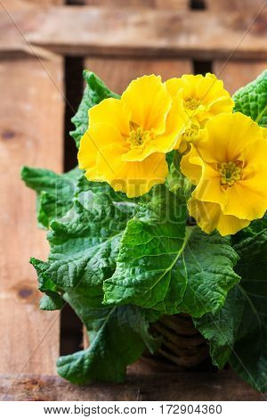 Colorful bright yellow primrose primula polyanthus flowers in a pot on a rustic wooden table. Spring easter garden composition