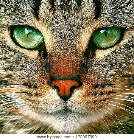 beautiful tabby cat with green eyes close up