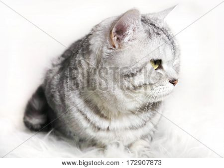 cat chinchilla  striped tabby profile. Portrait of a cat with green eyes.