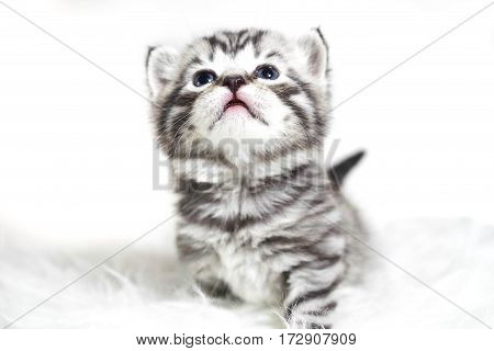 Posh kitten with blue eyes and thick short hair. Plush baby striped kitten