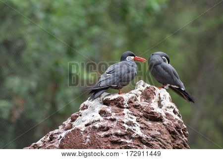 Pair of Inca terns standing together on a rock.
