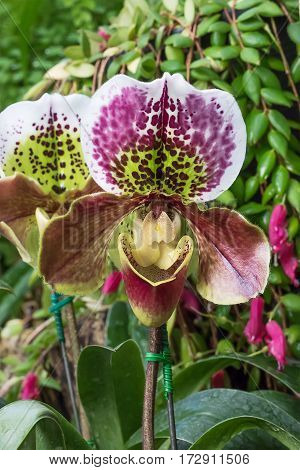 Close up Paphiopedilum of Orchid flower or Lady slipper orchid flower
