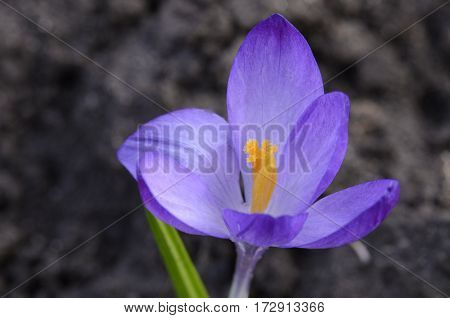 Crocus flower blossomed in the summer in the garden on a sunny day