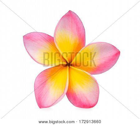 frangipani flowers isolated on the white background