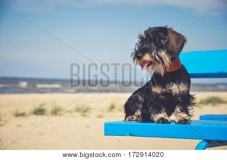 beautiful dachshund dog on the sea bench