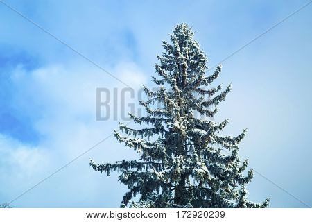 Blue spruce with cones covered with frost and snow against the background of the sky