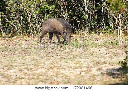 Wild boar Sus scrofa cristalus national park Wilpattu Sri Lanka boar rooting in the soil