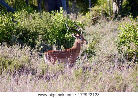 Impala isolated grazing in East Tsavo Park in Kenya
