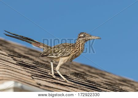 a roadrunner on the roof of a house