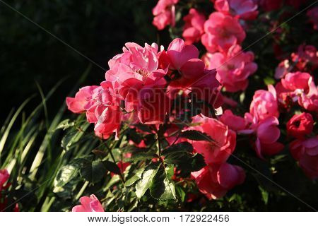 pink rose bush at sunset, Beautiful fiowers