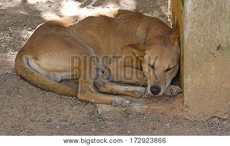 Photo of an Indian feral dog sleeping in the shade